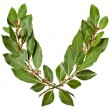 Branch of bay laurel leaves isolated on white - Stock Photo