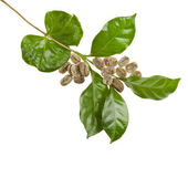 Green unroasted coffee grains and leaves of coffee trees isolated on white — Stock Photo