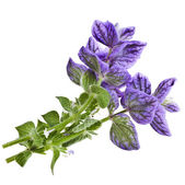 Salvia horminum isolated on a white — Stock Photo
