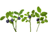 Bilberry bush — Stock Photo
