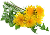 Dandelions (taraxacum) isolated — Stock Photo