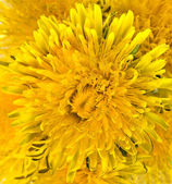 Dandelions (taraxacum) — Stock Photo