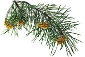 Pine branch isolated on white — Stock Photo