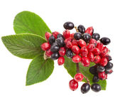 Black and red berries Viburnum lantana, branch isolated on white background — Stock Photo