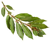 Branch of bay laurel leaves isolated on white — Stock Photo