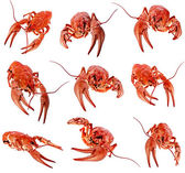 Collection of red boiled crawfish on white background — Stock Photo