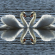 Loving swans — Stock Photo