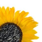 Zonnebloem bloemzaden geïsoleerd over wit — Stockfoto