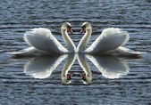 Loving swans — Stock Photo