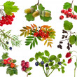 Collection of wild forest berries plants fruits isolated on white background - Stock Photo