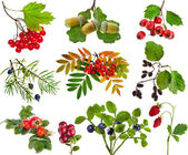 Collection of wild forest berries plants fruits isolated on white background — Zdjęcie stockowe