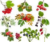 Zbiór dzikim lesie jagody rośliny na białym tle owoce — Zdjęcie stockowe