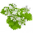 Fresh green leaf cilantro coriander blossom isolated on white - Stock Photo