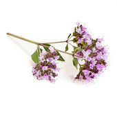 Oregano or Marjoram Herb Blooming (origanum majorana) — Stock Photo
