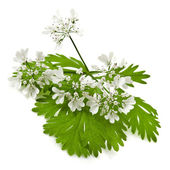 Fresh green leaf cilantro coriander blossom isolated on white — Stock Photo