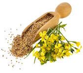 горчица семена в деревянные совок с блум горчицы цветок на белом — Стоковое фото