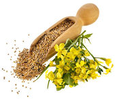 Mustard seeds in the wooden scoop with mustard flower bloom on white — Photo