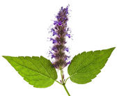 Fresh peppermint herb Isolated and flowers — Stock Photo