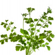Stock Photo: Cilantro coriander herb isolated on white