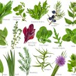 Collection fresh herb with names isolated on a white background — Stock Photo #14477075