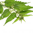Fresh branch nettle isolated on white background — Stock Photo