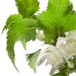 Stock Photo: Nettle with flowers isolated on white background