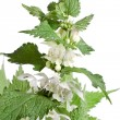 Nettle with flowers isolated on white background - Stock Photo