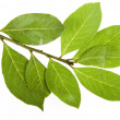 Branch of bay laurel leaves isolated on white — Stock Photo #14478015