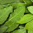 Stock Photo: Bay leaves