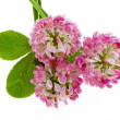 Royalty-Free Stock Photo: Pink clover isolated on white