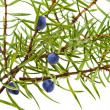 Branch of juniper with berries isolated on white - Stock Photo