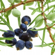 Branch of juniper with berries isolated on white — Stock Photo