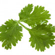 Stock Photo: Parsley green leaf closeup on white background