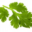 Parsley green leaf closeup on white background — Stock Photo