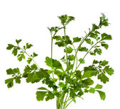 Cilantro coriander herb isolated on white — Stock Photo