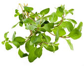 Marjoram Herb — Stock Photo
