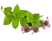 Bergamot mint herb (Monarda didyma) — Stock Photo