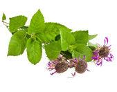 Bergamot mint herb (Monarda didyma) — Stock Photo