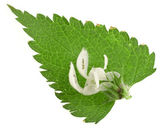 Nettle leaf with flowers isolated on white background — Stock Photo
