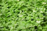 Green nettle flowering — Stock Photo