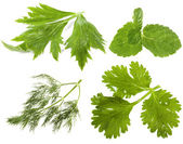 Fresh herbs ( celery, mint, dill, cilantro coriander) — Stock Photo