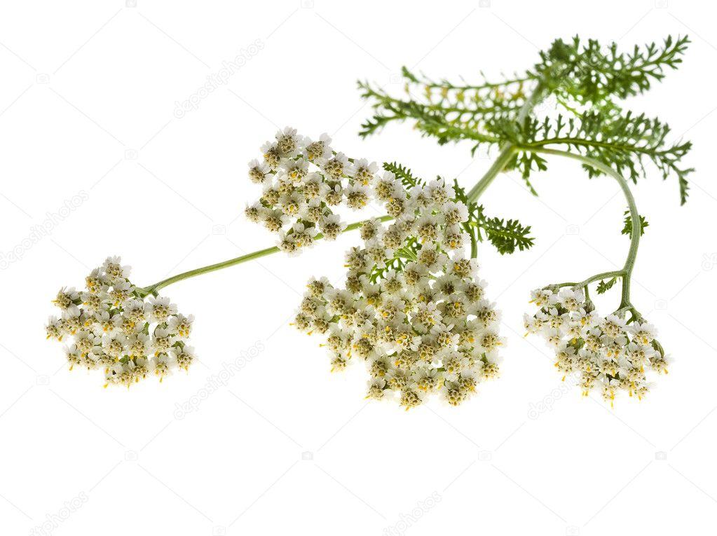 Achillea pianta con fiori bianchi — Foto Stock © Madllen ...