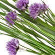 Flowers of Chives isolated on white background — Stock Photo
