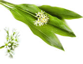 Bear allium victorialis (Ramson) — Stock Photo