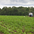 Stock Photo: Potato field with tractor working