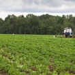 Potato field with tractor working - Stock Photo