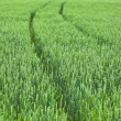 Unripe green wheat field — Stock Photo #14868205