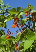 Kidney Beans blooming (Phaseolus) — Stok fotoğraf