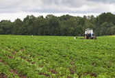 Potato field with tractor working — Stock Photo
