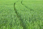 Unripe green wheat field — Stock Photo